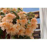 Бегония Belleconia Soft Orange