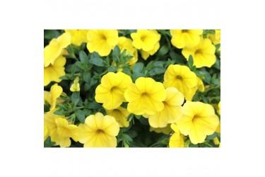 Калибрахоа Aloha Kona Yellow опт