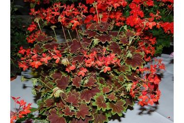 Пеларгония зональная пестролистная Vancouver Centennial