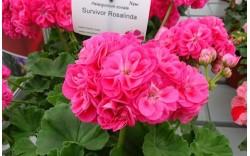 Пеларгония розебудная Survivor Idols Rosalinda