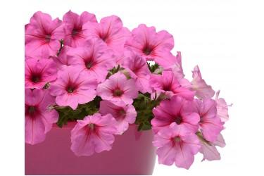 Петуния ампельная Easy Wave F1 Pink Passion 5 драже PanAmerican Seed