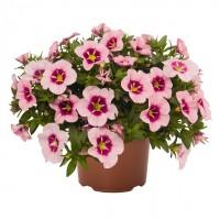 Калибрахоа Bloomtastic Rose Quartz опт