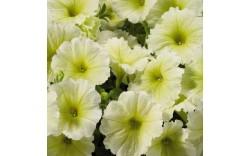 Петуния CAPELLA Soft Yellow