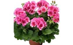 Пеларгония зональная Calliope Rose Splash