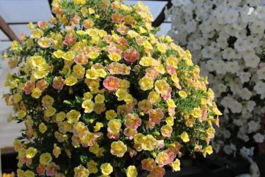 Калибрахоа Chameleon Double Pink and Yellow опт