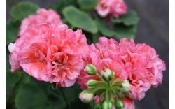 Пеларгония розебудная Denise