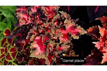 Колеус Garnet Placer
