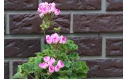 Пеларгония тюльпановидная Linnea Andrea