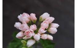 Пеларгония тюльпановидная Emma fran Bengtsbo