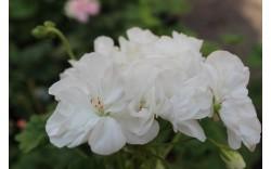 Пеларгония зональная карликовая Gardenia