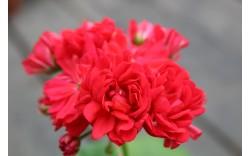 Пеларгония зональная Norrland Красный
