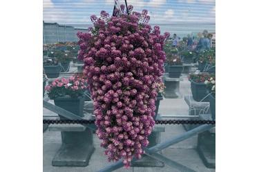 Алиссум Lucia Purple