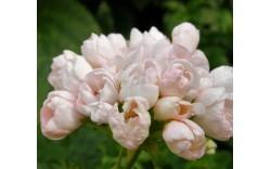 Пеларгония тюльпановидная Marbacka Tulpan