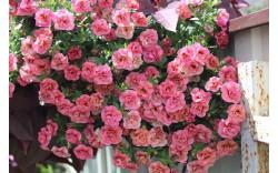 Калибрахоа Noa Double Rose опт