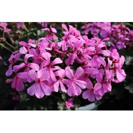 Пеларгония межвидовая Calliope Cascade Dark Pink