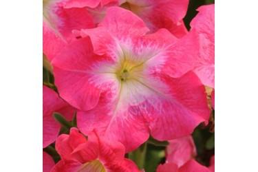 Петуния крупноцветковая Dreams Coral Morn
