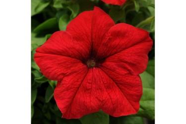 Петуния крупноцветковая Tritunia Red
