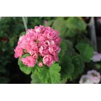 Пеларгония розебудная Swanland Pink/Australian Pink Rosebud