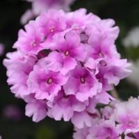 Вербена EnduraScape Pink Bicolour