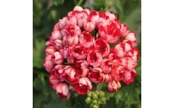 Пеларгония тюльпановидная Victoria Andrea