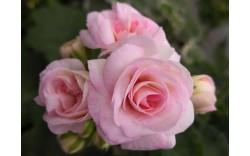 Пеларгония зональная махровая ЮГ Принцесса Грейс