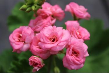 Пеларгония розебудная Grainger's Antique Rose