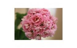 Пеларгония розебудная Anita