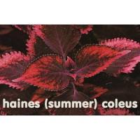 Колеус Haines