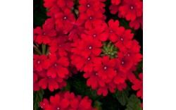 Вербена Dark Red
