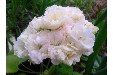 Пеларгония зональная карликовая Martha