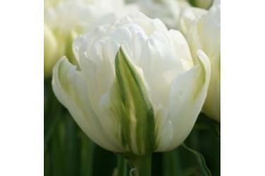 Тюльпан Maureen Double
