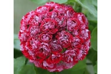 Пеларгония розебудная Cook's Scarlet and White