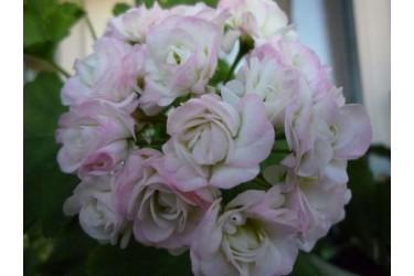 Пеларгония розебудная April Snow