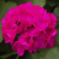 Пеларгония межвидовая Calliope M Deep Rose