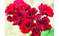 Пеларгония розебудная Garnet Rosebud