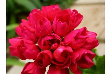 Пеларгония тюльпановидная Lilian Andrea