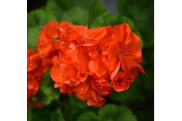 Пеларгония зональная Orange Parade