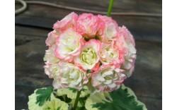 Пеларгония розебудная Westdale Appleblossom