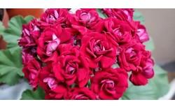Пеларгония розебудная Plum Rambler