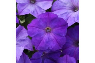 Петуния ампельная Easy Wave F1 Lavender Sky Blue 5 драже PanAmerican Seed