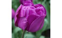 Тюльпан Purple Peony