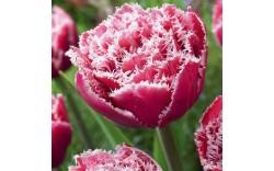 Тюльпан Brest