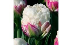 Тюльпан Double Polar