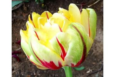 Тюльпан Glamour Unique