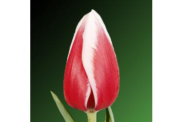 Тюльпан Guus Papendrecht