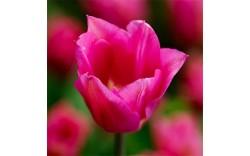Тюльпан Lilyrosa