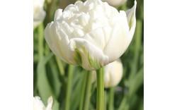 Тюльпан Up White