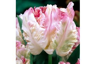 Тюльпан Weber's Parrot Pink